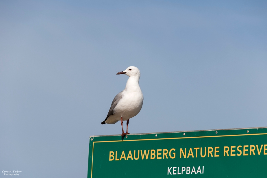 Blaauwberg Nature Reserve – Hartlaubs Gull#6