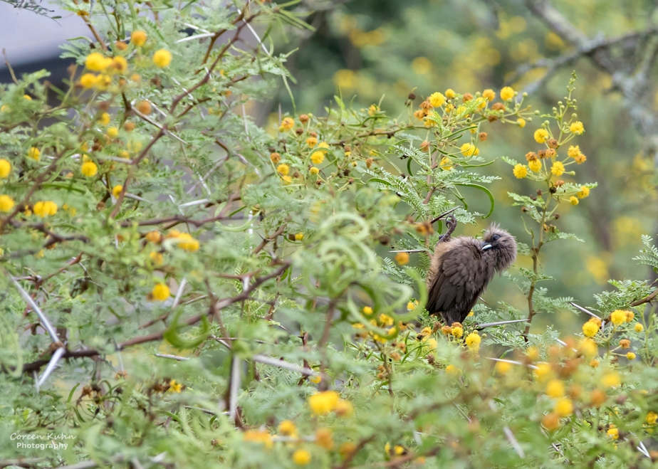 Stonehill River Lodge – Speckled Mousebird#18