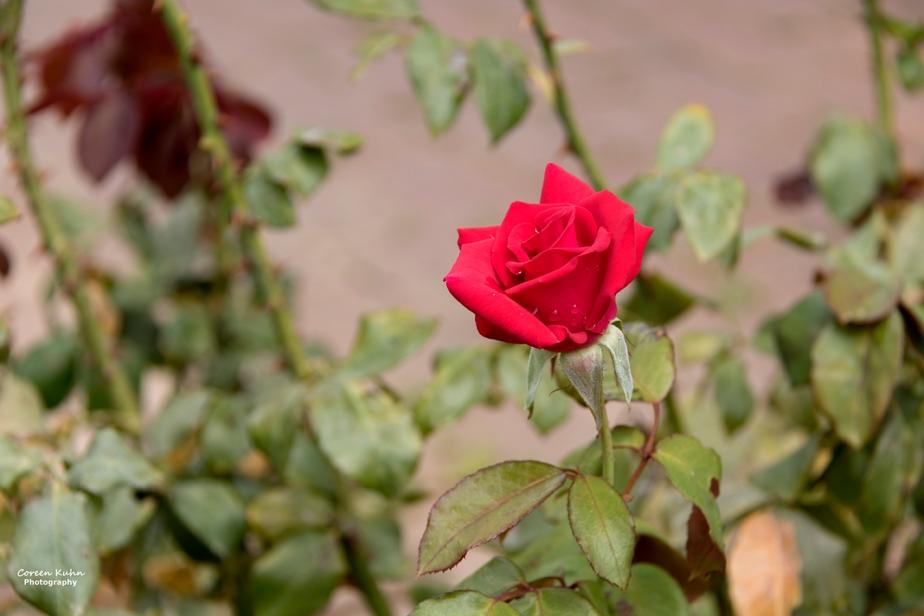 Rhebokskloof Wine Estate – Red Rose#6