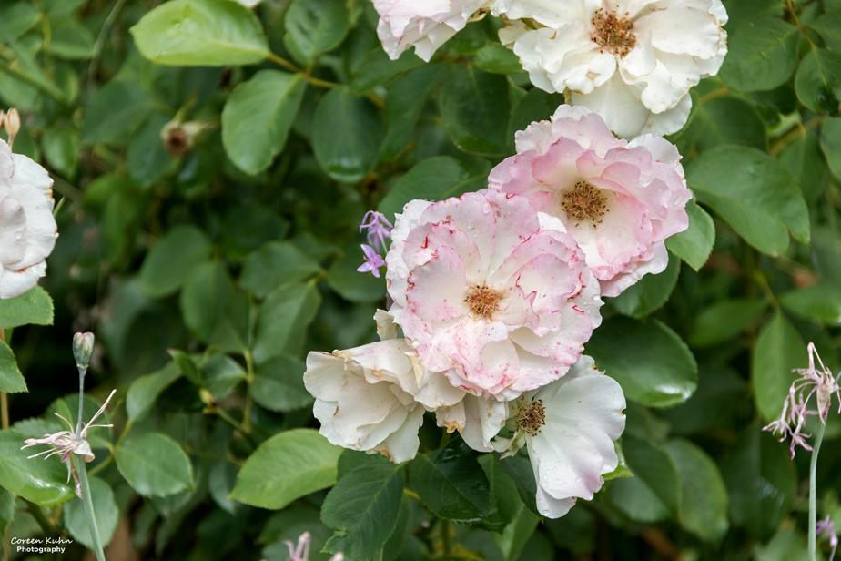 Rhebokskloof Wine Estate – Pink Rose#4