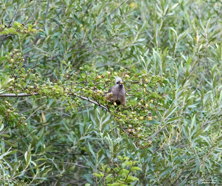 Stonehill River Lodge – Speckled Mousebird#20
