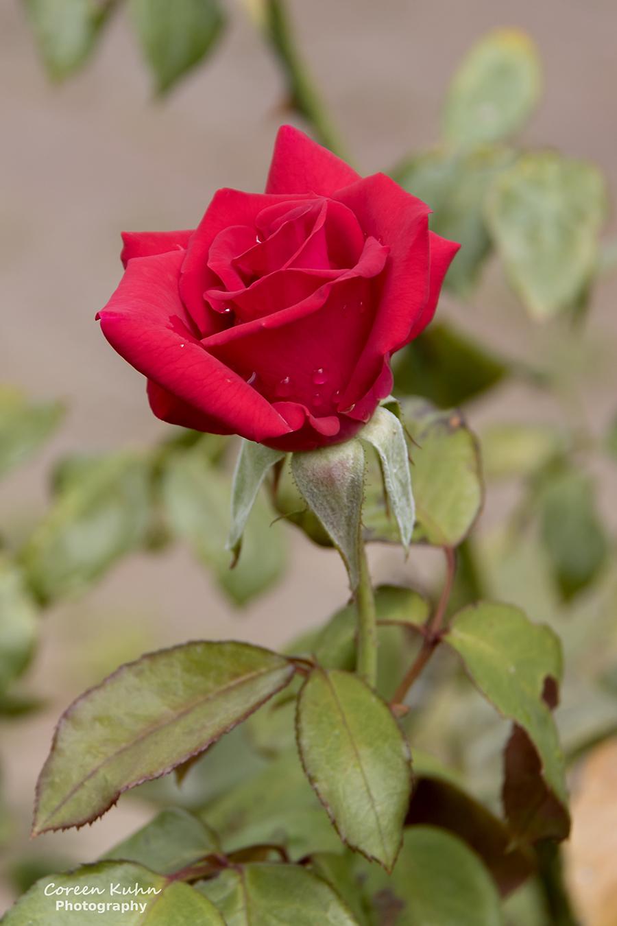Rhebokskloof Wine Estate – Red Rose#7