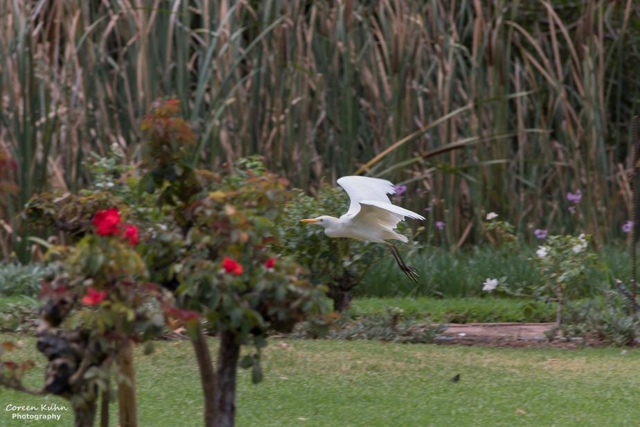 Rhebokskloof Wine Estate – Cattle Egret#3