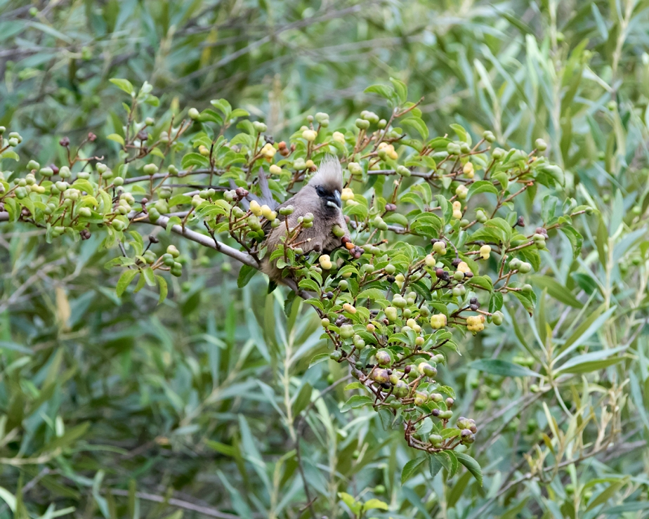 Stonehill River Lodge – Speckled Mousebird#21