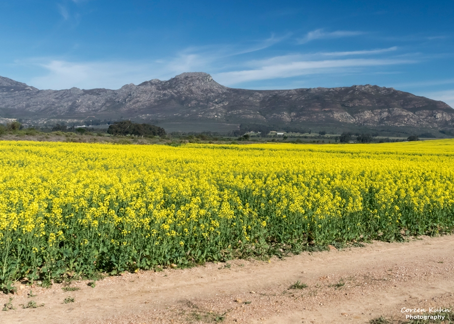 Views Along The R44 – Canola Field#7