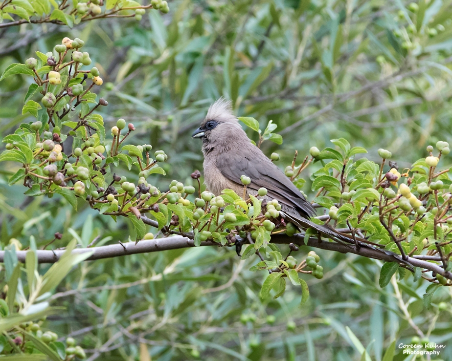 Stonehill River Lodge – Speckled Mousebird#22