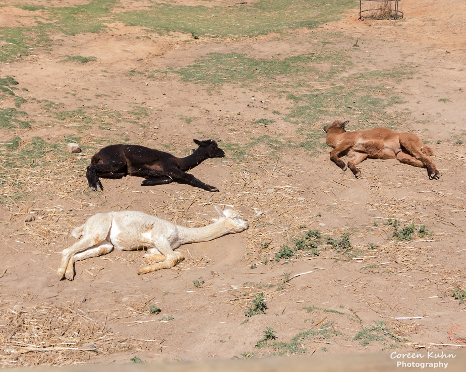 The Alpaca Loom#94