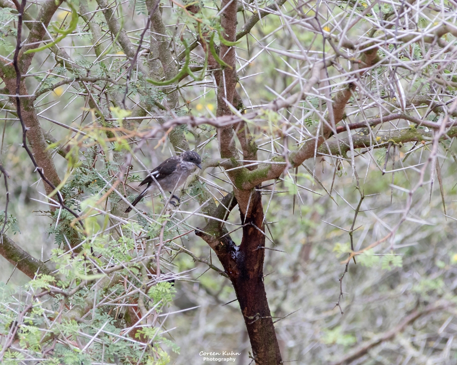 Stonehill River Lodge – Fiscal Flycatcher#22
