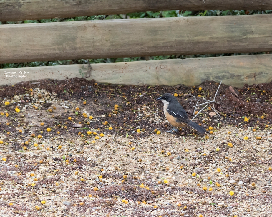 Stonehill River Lodge – Fiscal Flycatcher#23
