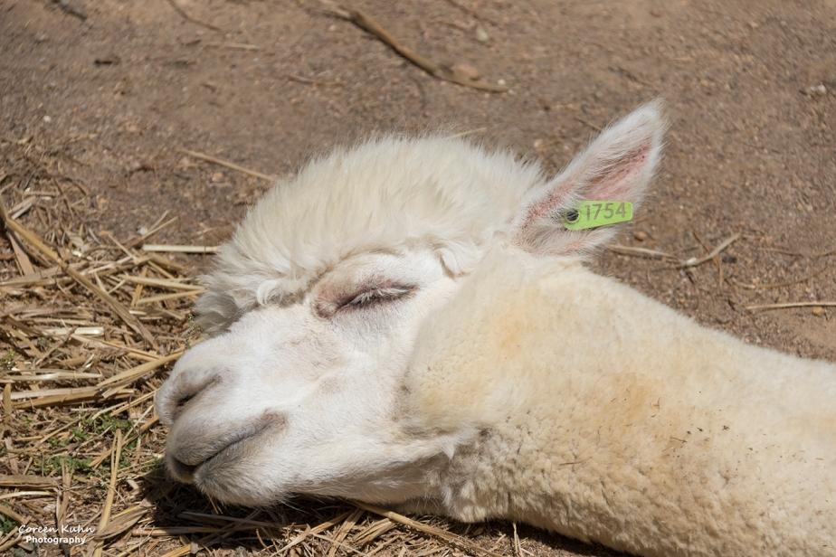 The Alpaca Loom#103