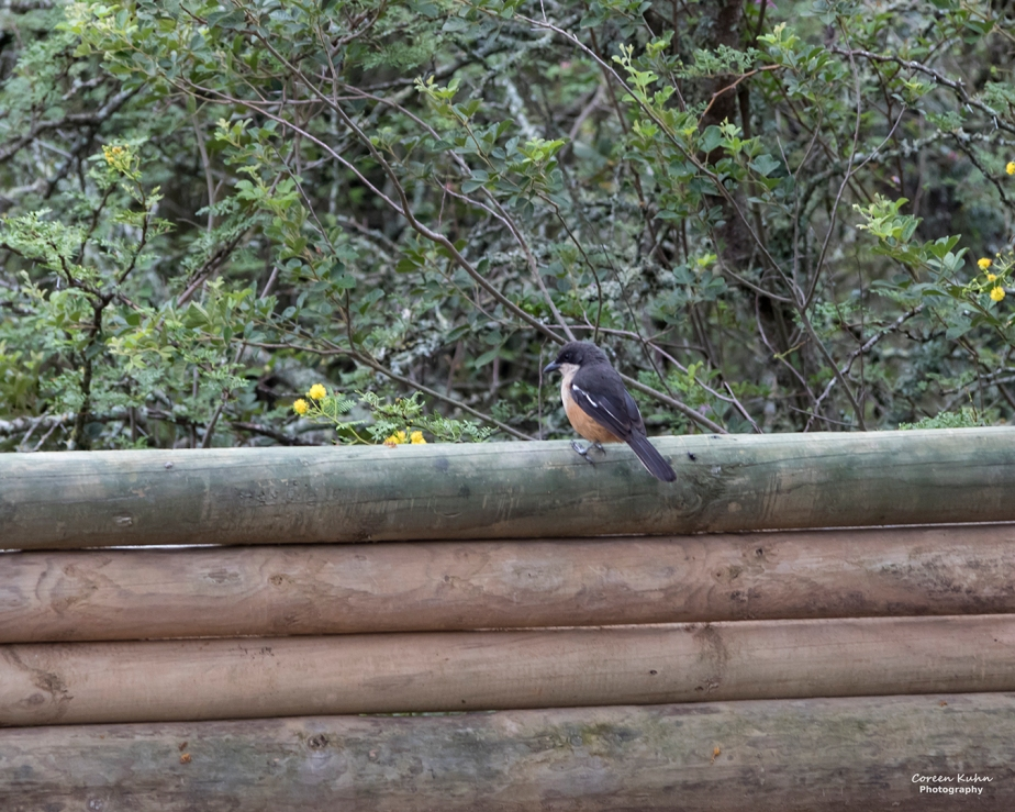 Stonehill River Lodge – Fiscal Flycatcher#15