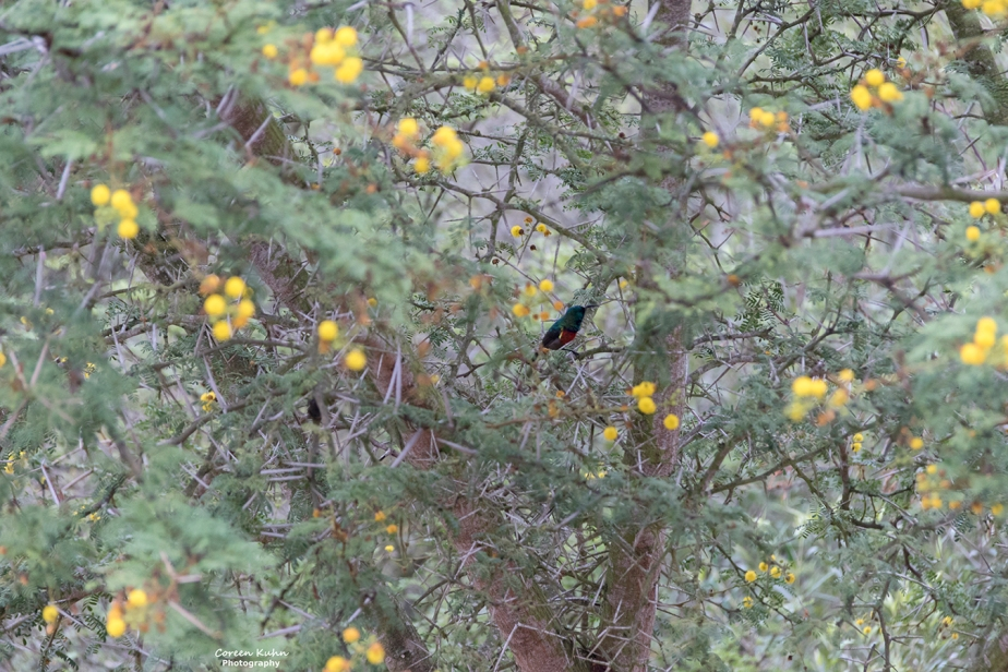 Stonehill River Lodge – Southern Double-Collared Sunbird#8
