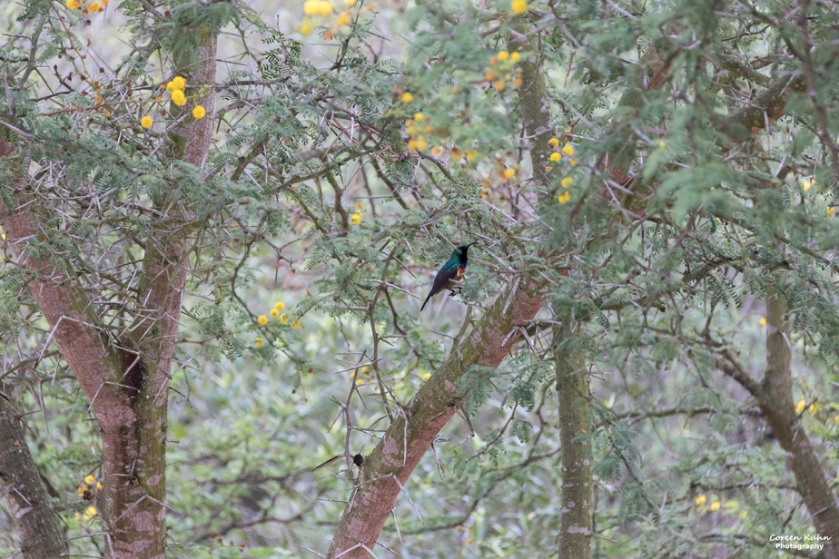 Stonehill River Lodge – Southern Double-Collared Sunbird#9