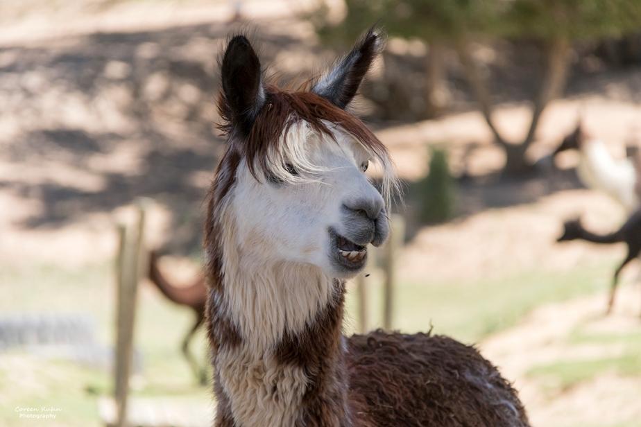 The Alpaca Loom#105