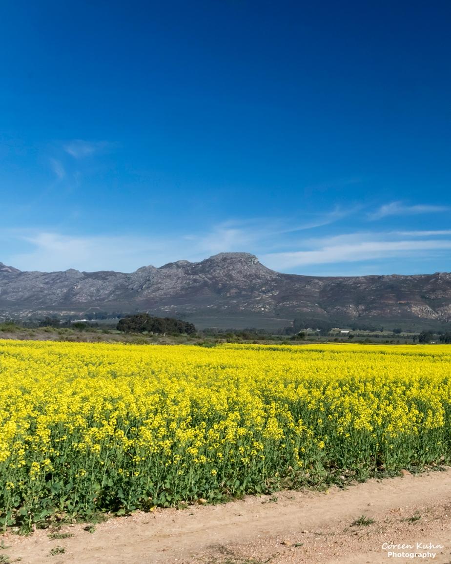 Views Along The R44 – Canola Field#6