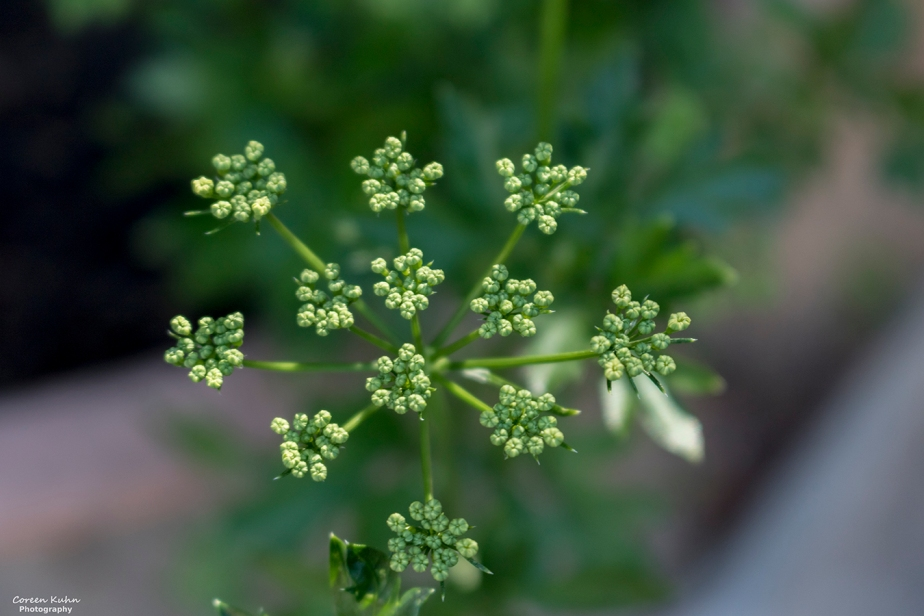 Cee's Flower Of The Day Challenge: 8 October 2021 –Parsley